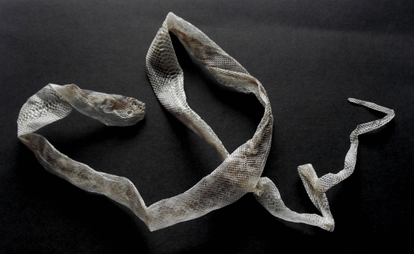 Photograph of a shed, dried snake skin
