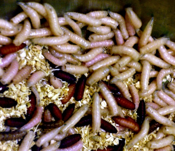 Photograph of maggots - courtesy of uploaded to Commons using Flickr upload bot on 8 January 2012, 15:55 by Formedivita.it